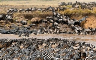 Thousands of zebra and wildebeest cross the Mara river-Kenya Holidays