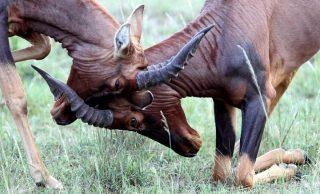 Topi in fight-Kenya Holidays