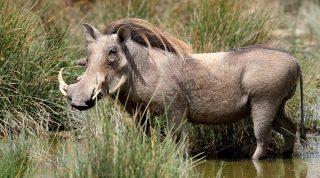 Warthog-Kenya Holidays