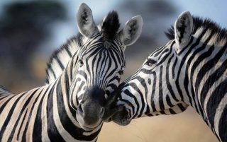 Zebras-Kenya Holidays