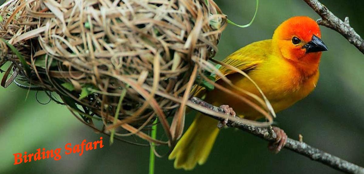 Birding Safari - Birds of Kenya