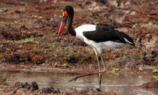 Saddle-billed Stork - (Ephippiorhynchus senegalensis)